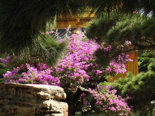 Jacaranda im wunderschönen Nan Lin Garten des Chin Lin Klosters