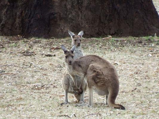 unsere ersten Kängurus in freier Wildbahn