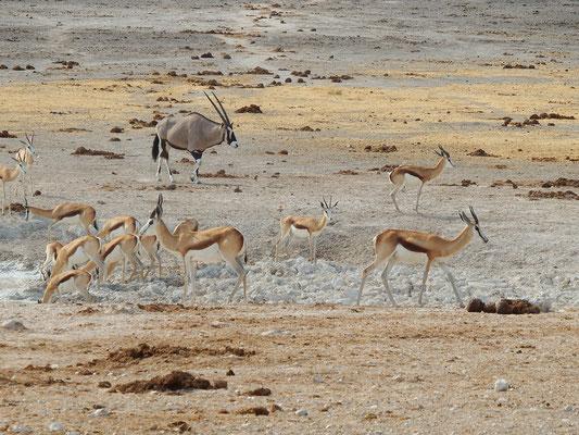 Impala-Antilopen, Hintegrund: Oryx-Antilope