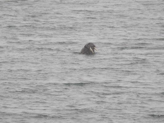 und noch ein Walross