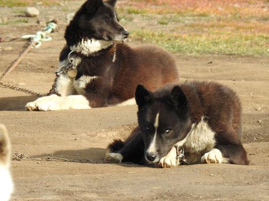 Greenland-Husky