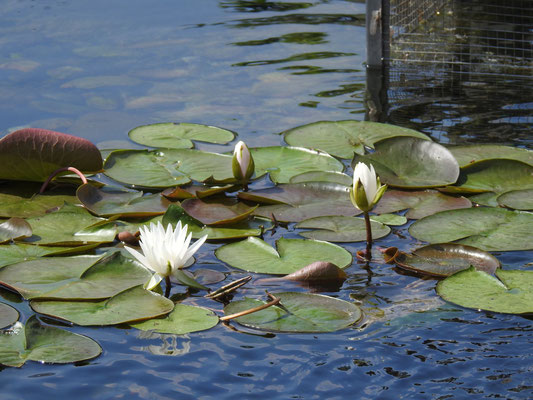 Seeblumen im Chi Lin Kloster