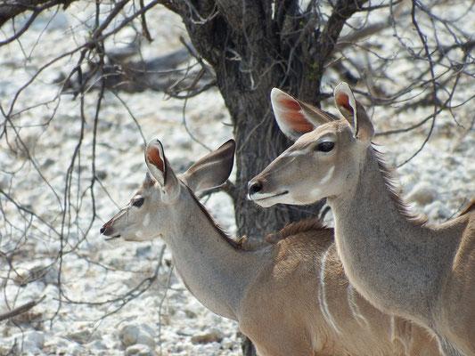 Kudu-Antilopen