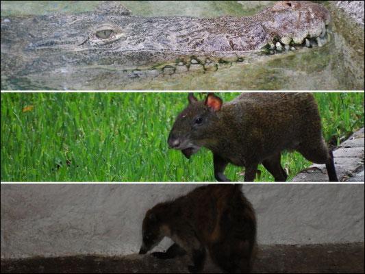 von oben nach unten: (1) cu aligator (2) Ein Aguti! Erstmalig von uns 2013 in Brasilien gesichtet. (3) Ein Nasenbär, dto. Erstkontakt von uns auf unserer Brasilienreise 2013.