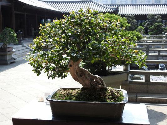 wunderschöne Bonsais im Chi Lin Kloster
