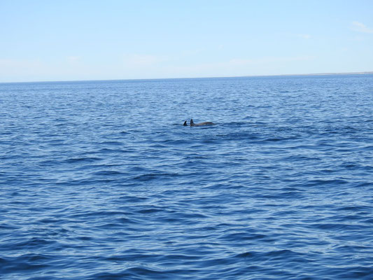 Delphine vor Puerto Madryn