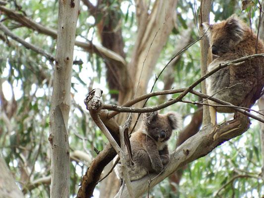 Ha! Koala mit Nachwuchs in der freien Wildbahn entdeckt,