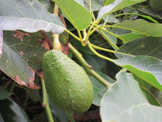 Ah ja, Avocados wachsen am Baum.