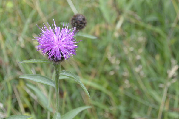Thistle (Distel) - die schottische Nationalblume