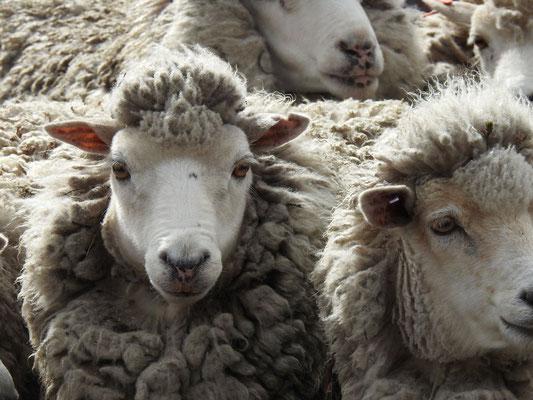Schafe auf den Falklands