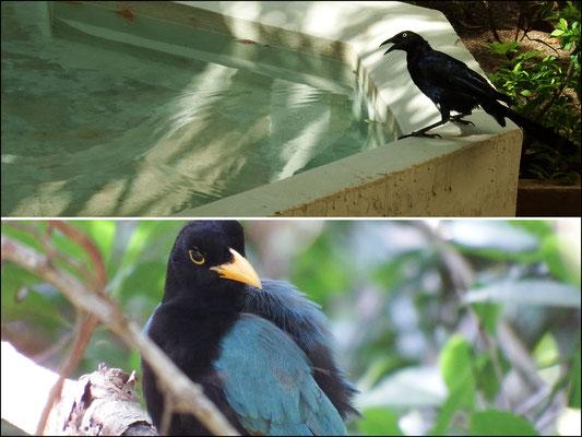 von oben nach unten: (1) eine Dohlengrackel (2) der Yucatán Blaurabe, auch als Häher bezeichnet