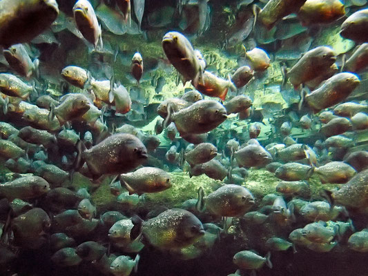 "Piranhas im ""Den Bla Planet"" in Kopenhagen"