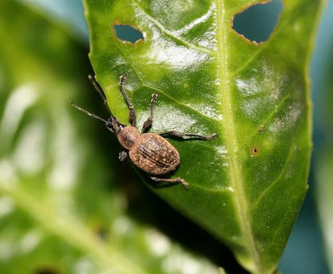 """Oziorinco: vive nel terreno (o nel """"terriccio"""" se in vaso) per un lungo tempo come larva, mangiando radici e colletto delle piante; una volta divenuto adulto, esce dal terreno e camminando (non vola) si trasferisce sulla parte aerea della pia"""