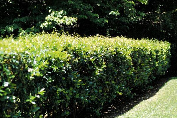 Ligustrum lucidum in siepe - Sempre verde