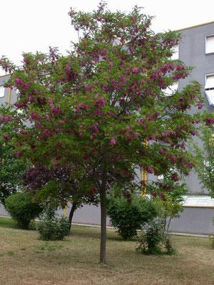 Robinia Casque Rouge (Acacia ) - fiori a grappoli da Maggio a Giugno - Foglia caduca
