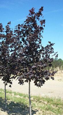 Acer platanoides - Foglia caduca