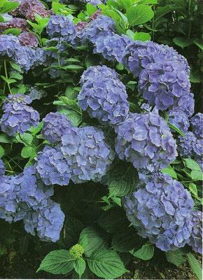 Ortensia blu - per terreni acidi - Foglia caduca