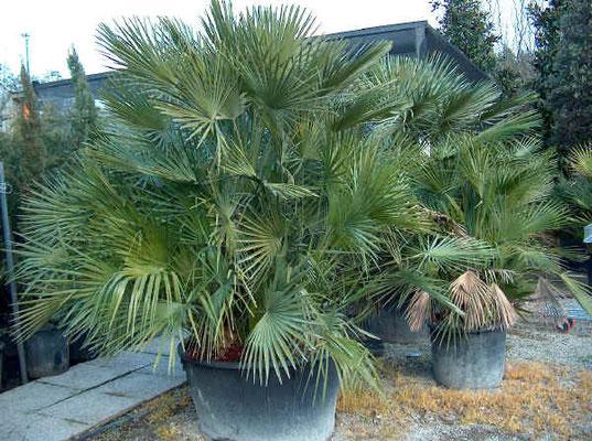 Chamaerops Humilis - anche in vaso - resistente. Sempre verde