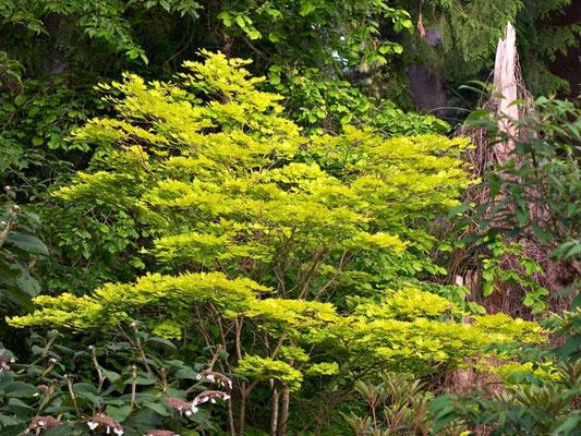 Acer aureum - esige terreni acidi. Resiste al freddo - Foglia caduca