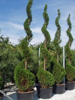 Cupressus arizzona in forma - Sempre verde