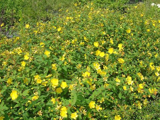 Hipericum - senza esigenze di esposizione e di terreno, adatto a bordure - Sempre verde