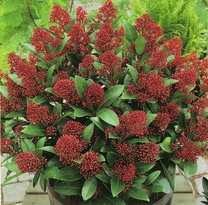 Skimmia - per terreni acidi, bacche rosse da novembre ad aprile - Sempre verde