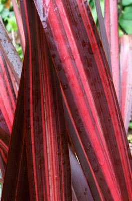 Phormia red - h 1-2 m. senza esigenze sulla natura del suolo -coltivabile anche in vaso