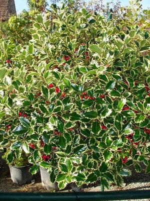 Ilex aquifolium - Vive anche all'ombra, in suoli freschi - Sempre verde