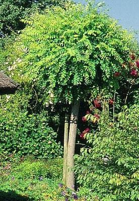 Robinia pseudoacacia - Foglia caduca