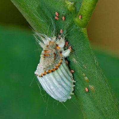 Coccinilia:famiglia degli acari. Insetti facilmente identificabili per il loro aspetto cotonoso e ceroso, suggono la linfa delle foglie provocandone l'avvizzimento