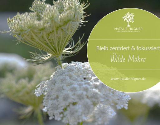 Wilde Möhre | Daucus carota subsp. Carota