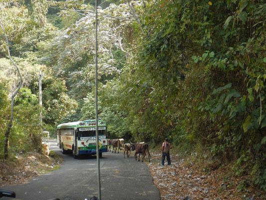 Wie es sich auf Bergstrassen gehört, versperren Kühe die Strasse