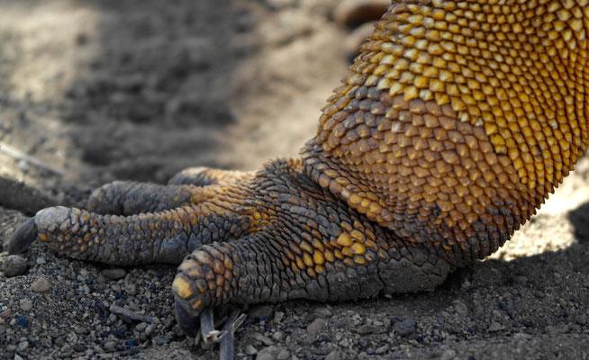 Iguanafüessli