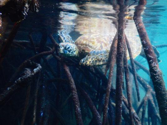 Wasserschildkröte im Mangrovenwald