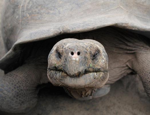 Galápagos Riesenschildkröte
