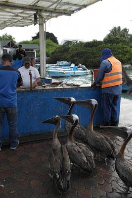 auch die Pelikane versuchen es als Scheinkunden...