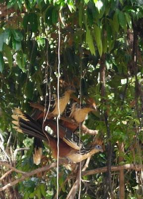 noch mehr Vögel, das Spezielle an diesen ist, dass sie direkte Nachfahren der Flugsaurier sind!