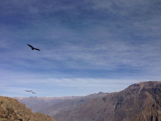 majestätische Andenkondore