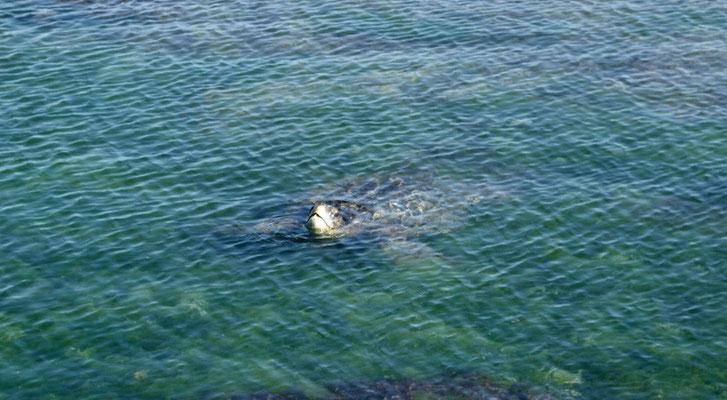 Wasserschildkröte am Luft schnappen