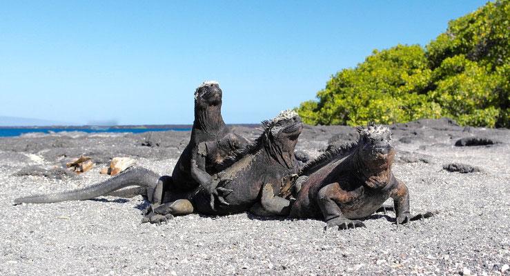 Iguana Haufen