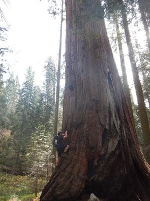 Prächtiger Sequoia