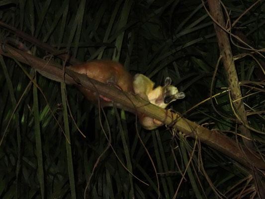 Nasenbär auf Baum