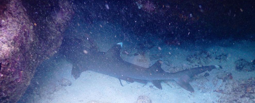 Weissspitzenflossen Riffhai