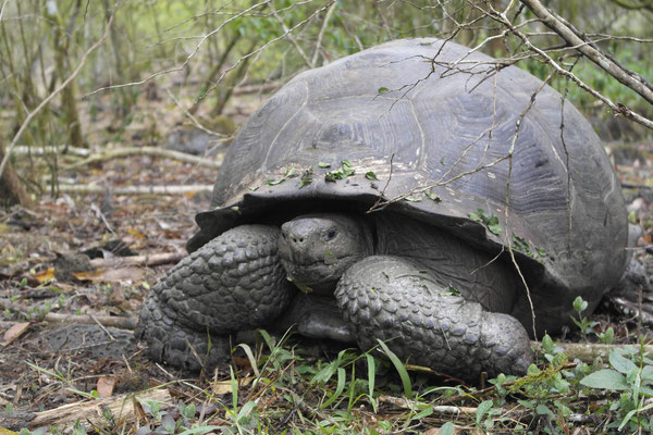 Galápagos Riesenschildkröten
