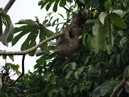 Faultier (wird in anderen Blogs gerne auch als Koalabär betitelt);-)