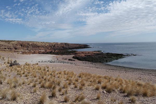 Kolonie der Magellanpinguine