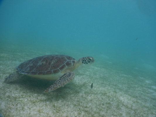 Unzählige Schildkröten in Akkumal