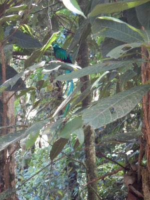 Wunderschöne Quetzales