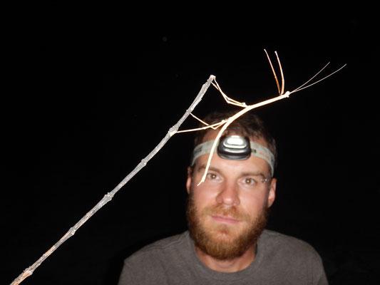 Nächtlicher Stabheuschreckenfund