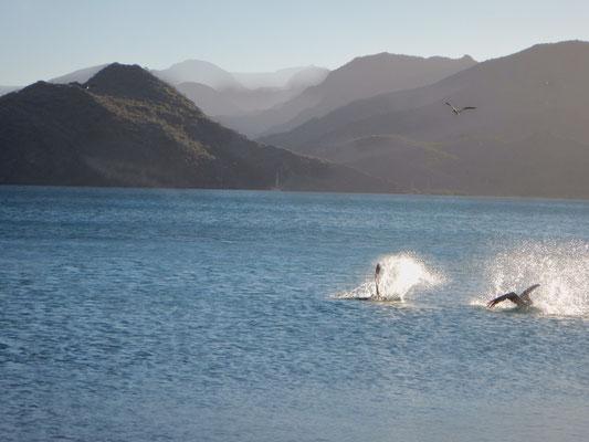Pelikane auf der Jagd